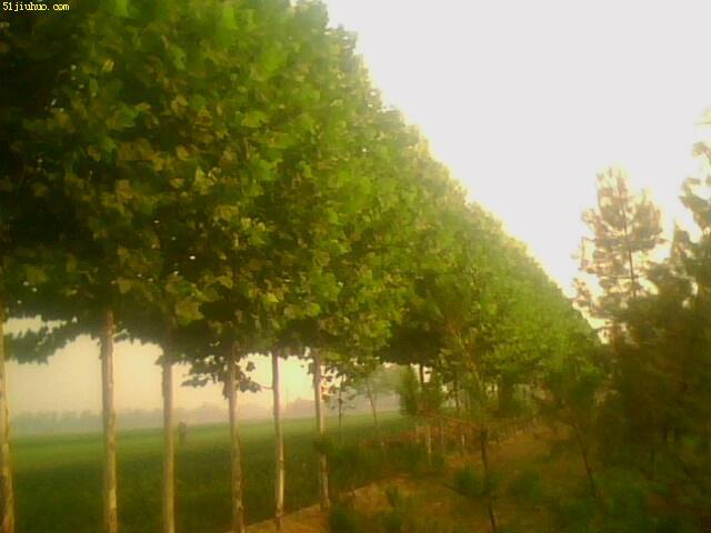 出售法国梧桐树