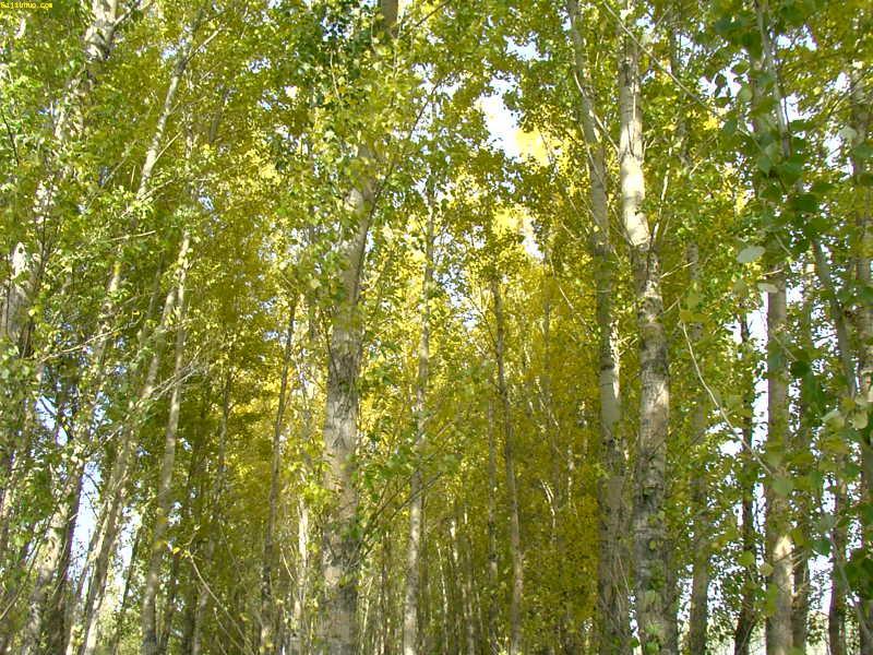 加拿大杨树手绘黑白图